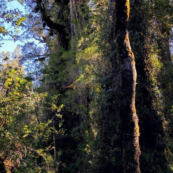 Alerces milenarios selva valdiviana