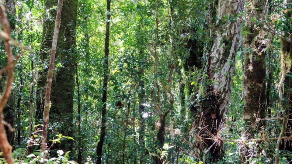 Bosque primario de la Reserva Costera Valdiviana
